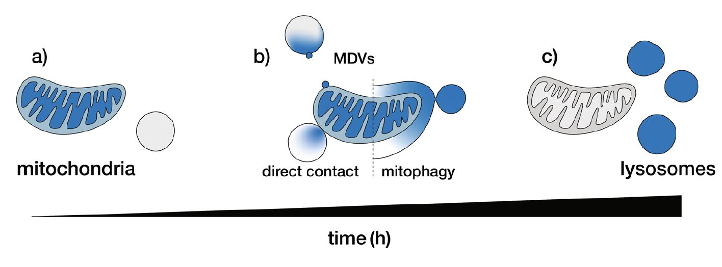 MitoBlue as a tool to analyze the mitochondria-lysosome communication