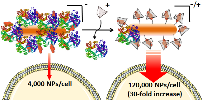 Reversible Control of Protein Corona Formation on Gold Nanoparticles Using Host-Guest Interactions